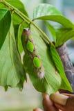 Личинка бабочки catterpillar стоковая фотография rf