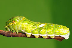 Личинка бабочки, dialis Papilio Стоковое фото RF