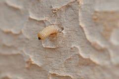 Личинка в древесине дерева Стоковые Изображения