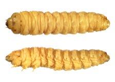 Личинка жука стоковая фотография