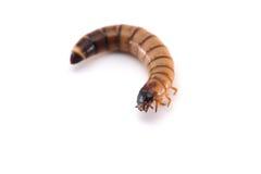 Личинка жука изолированного на белизне стоковые фото