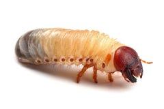 Личинка жука изолированная на белизне стоковое фото rf