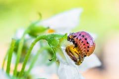 Личинка жука картошки Колорадо ест цветок белой картошки Конец-вверх насекомое-вредителя сада в ярком солнечном дне стоковые фото
