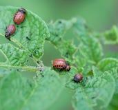 Личинка жука картошки Колорадо Стоковая Фотография RF