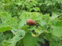 Личинка жука картошки Колорадо стоковые изображения