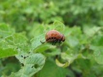 Личинка жука картошки Колорадо стоковые изображения rf