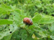 Личинка жука картошки Колорадо стоковое изображение rf