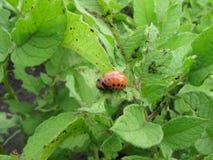 Личинка жука картошки Колорадо стоковые фото
