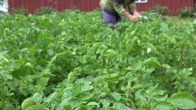 Личинка жука Колорадо ест деятельность женщины заводов и фермера картошки 4K акции видеоматериалы