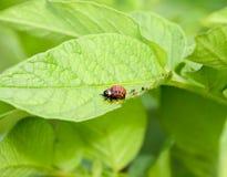 Личинка жука Колорадо ест лист картошки Стоковая Фотография RF