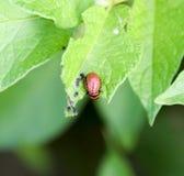 Личинка жука Колорадо ест лист картошки Стоковые Фотографии RF