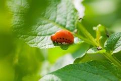 Личинка жука Колорадо на лист картошки Стоковое Изображение RF