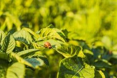 Личинка жука Колорадо Стоковая Фотография
