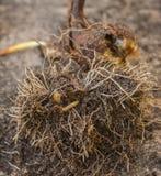 Личинка жука, wireworms в корнях стоковое изображение rf