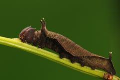Личинка на хворостине, miah Neptis Стоковая Фотография