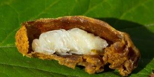 Личинка ферзя пчелы стоковая фотография rf