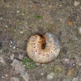 личинка Стоковое Фото