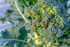 Личинка brassicae Pieris гусеница большой бабочки белой капусты на заводе капусты брокколи стоковое изображение