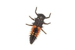 Личинка Coccinella Ladybug на белой предпосылке стоковые изображения rf