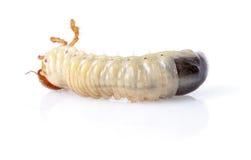 личинка cockchafer стоковое изображение rf