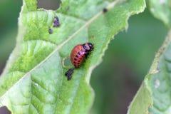 Личинка decemlineata Leptinotarsa жука картошки Колорадо стоковая фотография rf