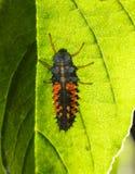 Личинка Ladybird под лист стоковые фото