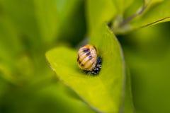 Личинка ladybug на заводе стоковые фотографии rf