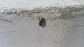 Личинка Ladybug на конкретном - septempunctata Coccinella стоковое изображение