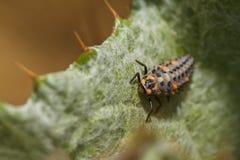 Личинка Ladybug стоковое фото