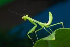 Личинка Mantis Стоковые Изображения