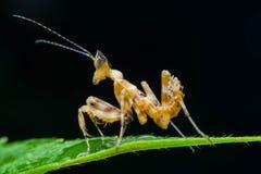 Личинка Mantis Стоковая Фотография