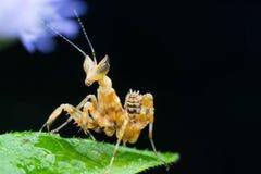 Личинка Mantis Стоковые Фото