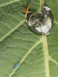 Личинка neacles thoas Heraclides стоковые изображения rf