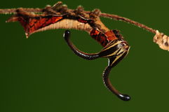 Личинка nesimachus /butterfly Dichorragia Стоковое фото RF