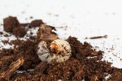 Личинка rhinocerous жука Стоковое Изображение