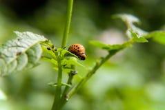 Личинка ` s жука Колорадо подавая на лист картошки Стоковая Фотография