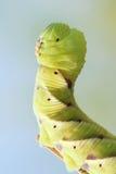 Личинка Sphingid стоковое изображение