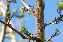 Личинки гусеницы, гусеницы кабеля Брауна на дереве стоковое изображение rf