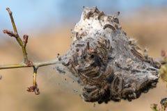 Личинки гусеницы, гусеницы кабеля Брауна на дереве стоковые изображения rf
