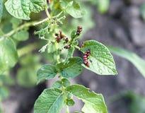 Личинки жука картошки Колорадо на лист Стоковые Изображения RF