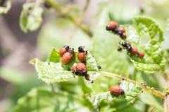Личинки жука картошки Колорадо Стоковые Изображения RF