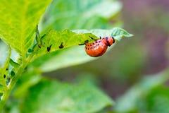 Личинки жука Колорадо есть органически растя картошки clos Стоковые Фотографии RF