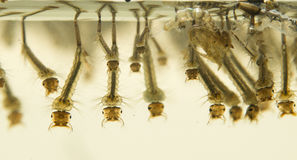 Личинки москита Стоковое Изображение RF