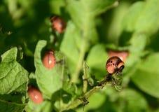Личинки Leptinoarsa Decemlineata жука картошки Колорадо Стоковое Изображение RF