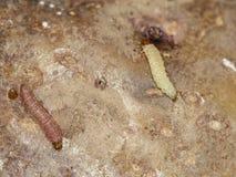 Личинки solanivora Povolny Tecia сумеречницы картошки центрального американского tuberworm картошки гватемальского на клубне карт Стоковые Фотографии RF