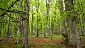 Личная перспектива идти на путь в зеленом лесе, устойчивая съемка кулачка Pov Hiker идя на след через лес сток-видео