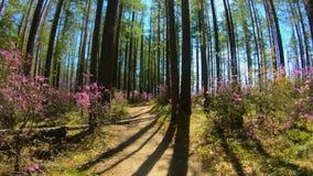 Личная перспектива идти на путь в пинке леса цветет, солнечный свет видеоматериал