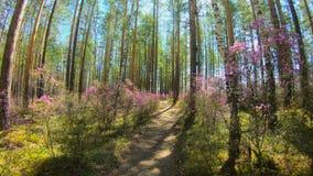 Личная перспектива идти на путь в пинке леса цветет, timelapse видеоматериал