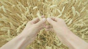 Личная перспектива кавказского фермера рассматривая его урожаи сток-видео