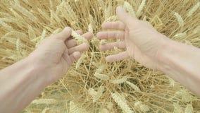 Личная перспектива кавказского фермера рассматривая его урожаи видеоматериал